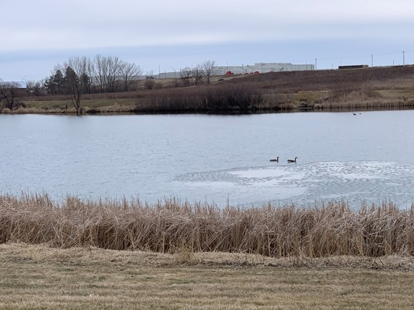 Prairie Lake ice has gone out and the geese are enjoying it