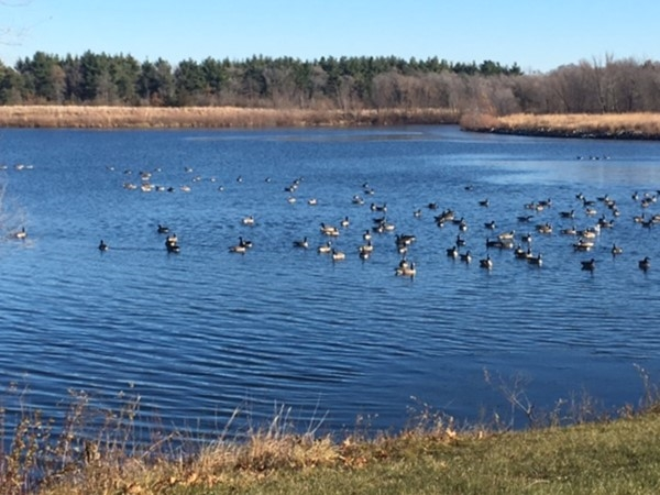Geese out for a last swim on Big Woods Lake before it freezes over