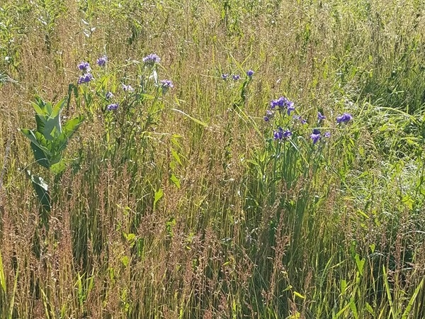 Wild flowers are in bloom at Big Woods Lake. Come out and go for a walk and check them out