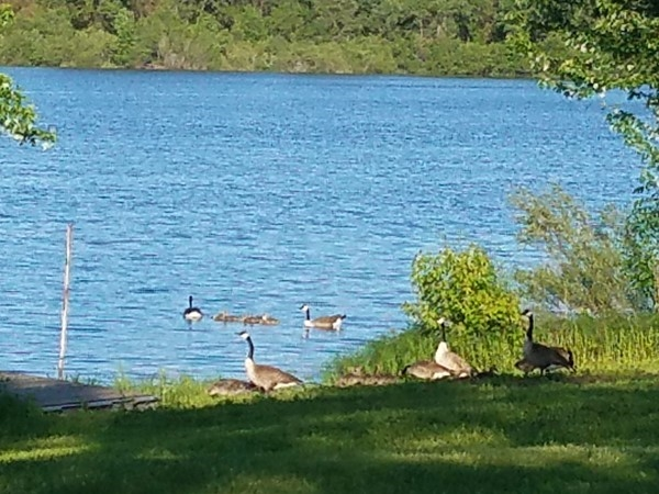 Daddy, momma and baby geese out for a swim on Big Woods Lake