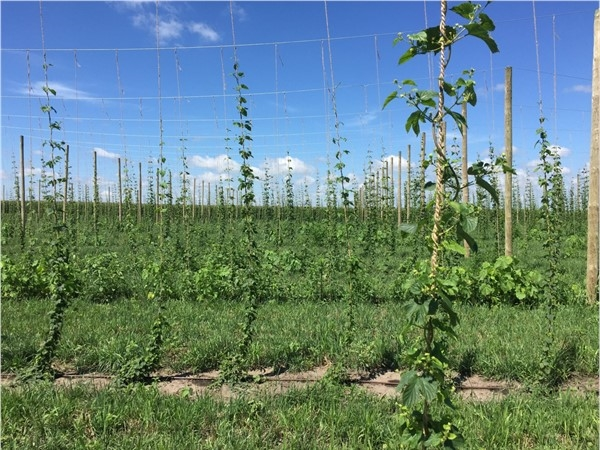 Not a typical Iowa crop, but these hops are growing tall