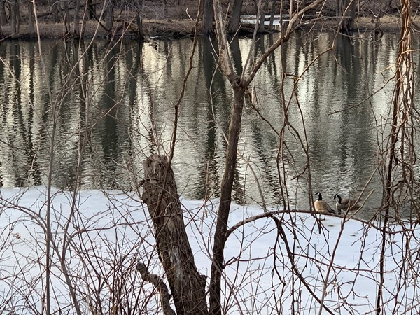 Geese hanging out on the newly melted Cedar River